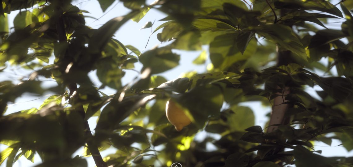 Lemon Tree 01